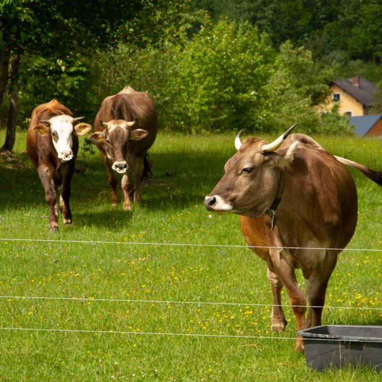 Mutterkühe Merida und Rhodira mit einem Jungochsen auf der Weide