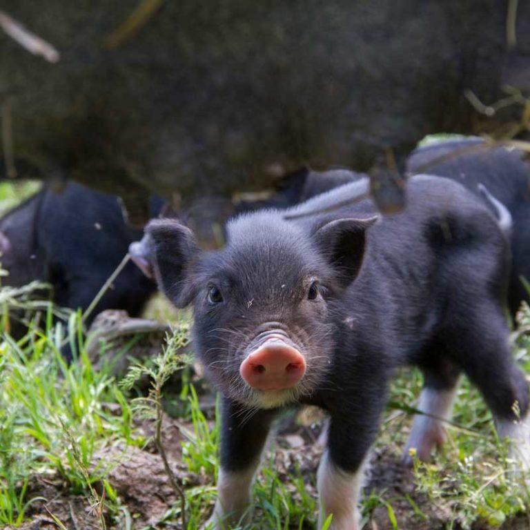 Unser Freilandschweine-Nachwuchs